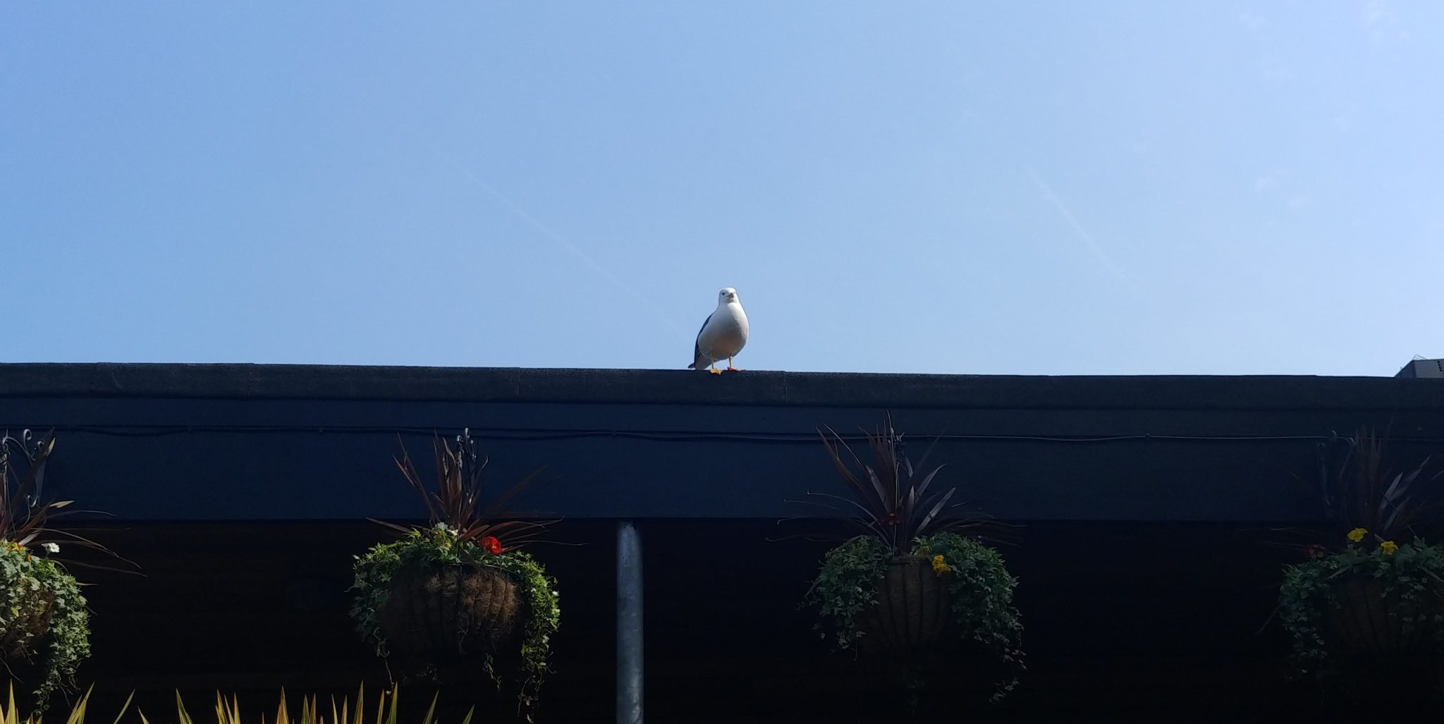 A seagull at The Henry Bell beer garden