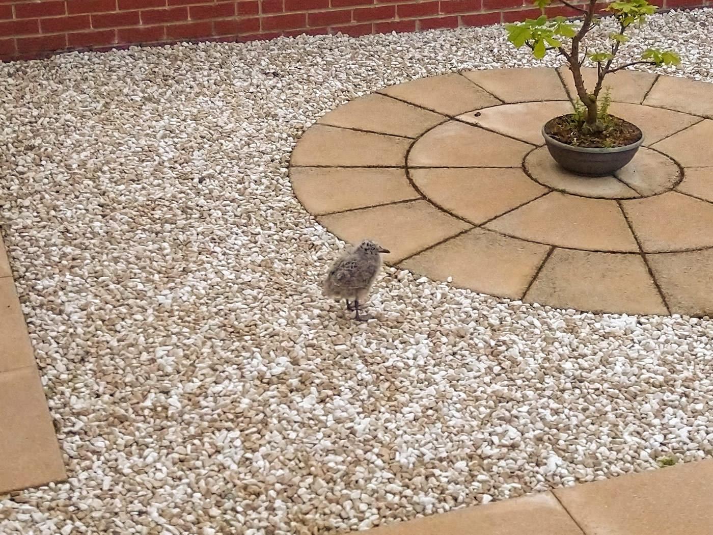 A baby seagull in a garden in Kirkmichael
