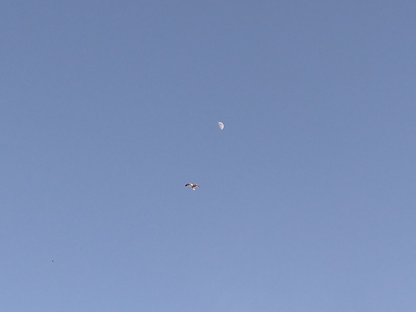 A seagull soaring high in a clear blue sky, pictured by the moon