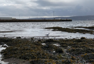 A young seagull by the water's edge in Helensburgh's west bay