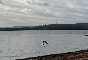A seagull flaps its wings as it surveys the shoreline for scraps