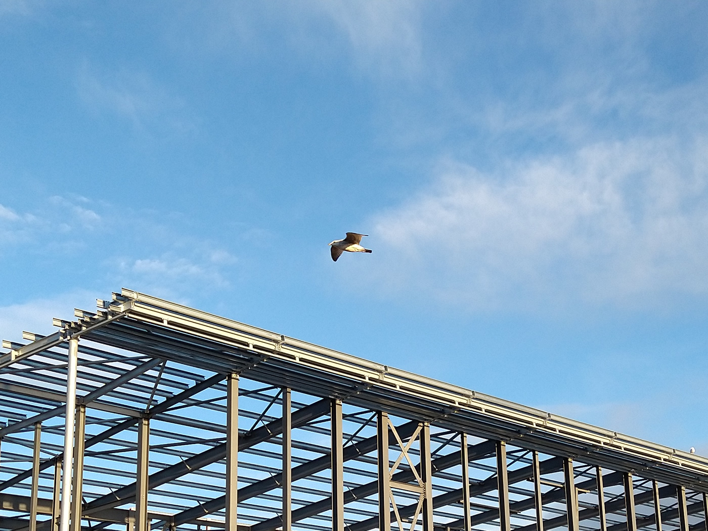 A seagull gliding above the structure of Helensburgh's new leisure centre