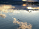 A seagull flying above the still water of the River Clyde, west of Helensburgh Pier at sunset