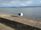 A seagull standing on the sea wall at Helensburgh riverside